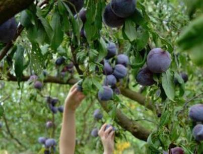 Ripe for the Picking! Popular Tourist Fruit Orchard and Freehold For Sale! (Our